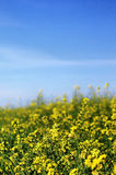 Canola field. Canola flowers used to produce bio fuel Stock Images