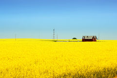Canola Field. And blue sky in Alberta (Canada royalty free stock photography