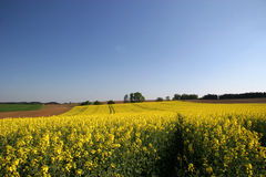 Canola field. In spring in bavaria Stock Photos