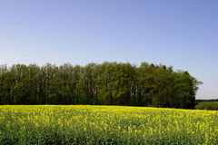 Canola Field. With forst in background Stock Images