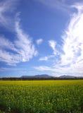 Canola Field Royalty Free Stock Photo
