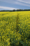 Canola Field. And blue sky stock image