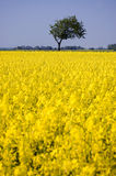 Canola Field. Bright yellow canola field with a single tree and blue sky Royalty Free Stock Image