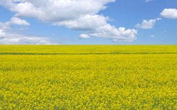 Free Canola Field Stock Images - 9718574