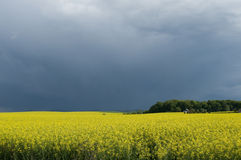 Canola field against stormy sky. Blooming canola field against cloudy sky Stock Photos