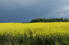 Canola field against stormy sky Stock Photos