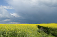 Canola field against stormy sky. Blooming canola field against cloudy sky Stock Images
