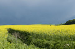 Canola field against stormy sky. Blooming canola field against cloudy sky Royalty Free Stock Images