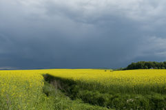 Canola field against stormy sky. Blooming canola field against cloudy sky royalty free stock photo