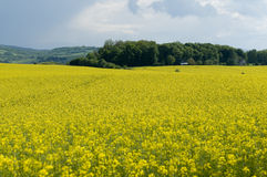Canola field against stormy sky. Blooming canola field against cloudy sky stock image