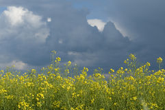 Canola field against stormy sky. Blooming canola field against cloudy sky royalty free stock image