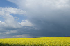 Canola field against stormy sky. Blooming canola field in Poland Stock Image