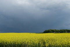 Canola field against stormy sky. Blooming canola field in Poland stock photo