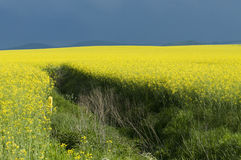 Canola field against stormy sky. Blooming canola field in Poland royalty free stock image