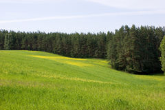 Canola Field And Pine Forest Stock Image
