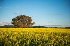 Canola field in Australia Royalty Free Stock Photos