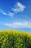 Canola field backround Stock Photography