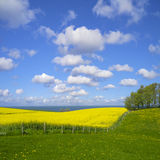 Canola field by the baltic sea Royalty Free Stock Photos