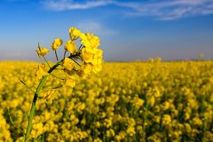 Canola field and the beautiful sky.  Stock Images