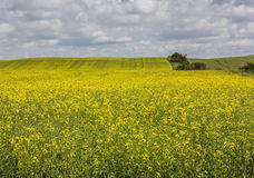 Canola Field in Bloom Stock Images