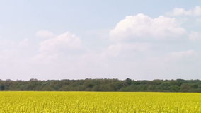 Canola field. Blossomed canola flowers winding in the wind with forest background and blue cloudy sky stock video
