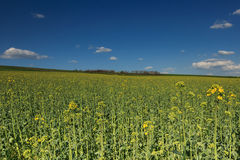 Canola field and blue cloudy sky. Spring landscape and canola field Royalty Free Stock Photo