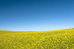 Canola field with blue sky Stock Images