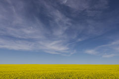 Canola Field and Blue Sky. A yellow canola field and blue cloudy sky Royalty Free Stock Images