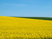 Canola field and blue sky Stock Photos