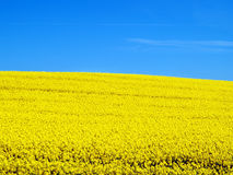 Canola field and blue sky Royalty Free Stock Photo