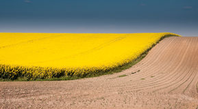 Canola field with blue sky and brown ground Stock Photography
