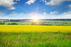 Canola field and blue sky Royalty Free Stock Image