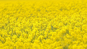 Canola field in a bright sunny day Stock Photos