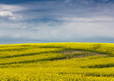 Canola field. A bright yellow field of canola under a blue summer sky in Saskatchewan, Canada Stock Images