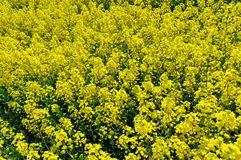 Yellow background with field or canola. Spring flowers background Royalty Free Stock Photo