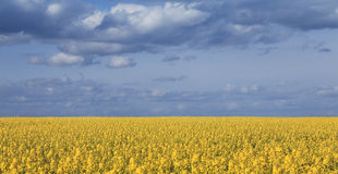 Canola field and cloudy sky Stock Photos
