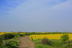 Canola field and country road. On a sunny day Royalty Free Stock Photo