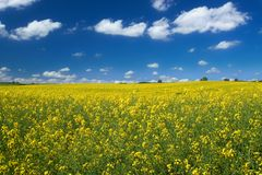Canola field with cumulus Royalty Free Stock Image
