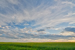 Canola Field at Dusk. Landscape of a canola field at dusk with beautiful clouds Stock Image