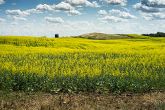 Canola field in early blooming Royalty Free Stock Image