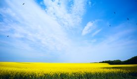 Canola field; ecology biofuel; blue sky over yellow field Stock Image