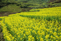 Canola field of ethnic minorities. Near Dong Van market, Ha Giang province, Vietnam. Ha Giang is one of the six poorest provinces of Vietnam. Ha Giang is a Royalty Free Stock Images