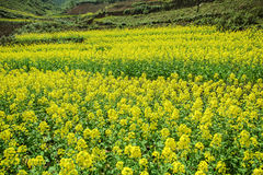Canola field of ethnic minorities. Near Dong Van market, Ha Giang province, Vietnam. Ha Giang is one of the six poorest provinces of Vietnam. Ha Giang is a Royalty Free Stock Photo