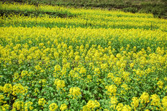 Canola field of ethnic minorities. Near Dong Van market, Ha Giang province, Vietnam. Ha Giang is one of the six poorest provinces of Vietnam. Ha Giang is a Royalty Free Stock Image