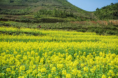 Canola field of ethnic minorities. Near Dong Van market, Ha Giang province, Vietnam. Ha Giang is one of the six poorest provinces of Vietnam. Ha Giang is a Stock Image