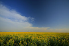 Canola field in the evening. In May Stock Photos