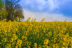 Canola Field. Field, Canola, Rape, Rapeseed, Agriculture, Stock Images