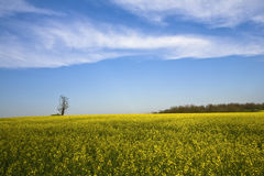 Canola Field First. Vibrant colors near the canola field Royalty Free Stock Image