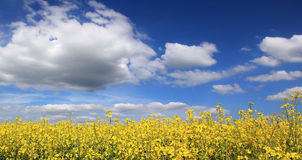 Canola field full bloom against cloudy sky Stock Image
