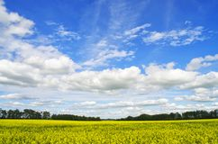 Canola field in full bloom Royalty Free Stock Images